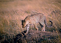 African, wild animal. A spotted cheetah is seen on the savannah of the Masai Mara plain in Kenya in East Africa. This beautiful mammal is reported to achieve running speeds of up to 70 miles an hour when pursuing prey and is considered to be the fas test