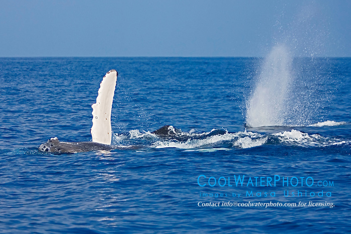 Humpback Whale calf, pec-slapping by mother whale and blowing escort, Megaptera novaeangliae, Hawaii, Pacific Ocean.
