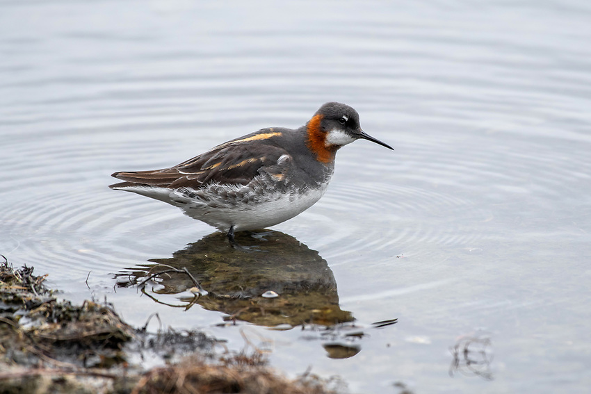 Red-Necked Phalarope (Phalaropus lobatus) in Southcentral Alaska. Photo by James R. Evans