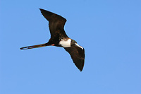Adult female Magnificent Frigatebird (Fregata magnificens) in flight. Dry Tortugas NP, Florida. March.