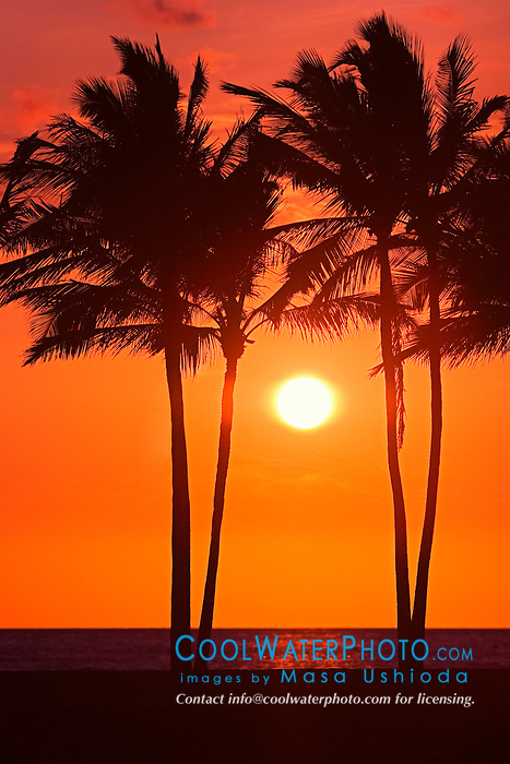 Silhouette of Coconut Palms, Cocos nucifera,`Anaeho`omalu Beach at sunset, Waikoloa, Big Island, Hawaii, Pacific Ocean