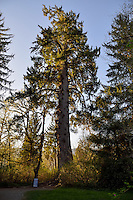 Largest known Sitka Spruce Tree (Picea sitchensis).   Near Quinault Lake, on Washington's Olympic Peninsula.  April.