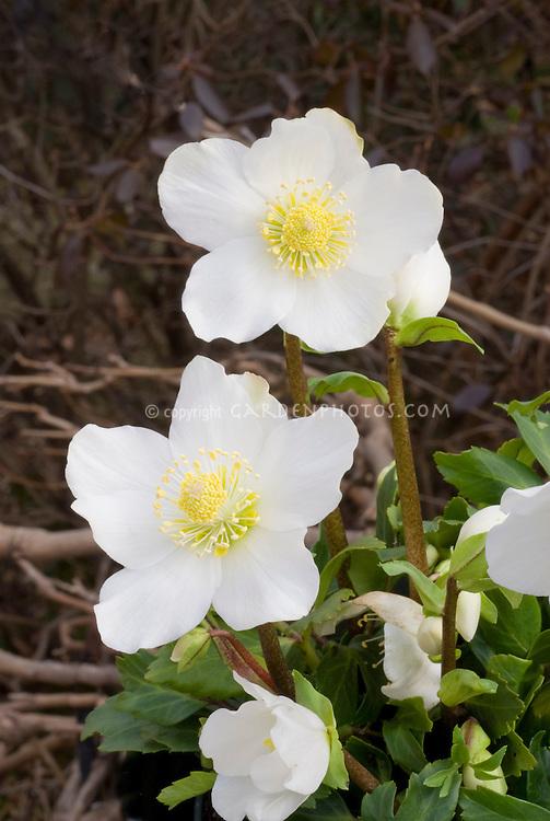 Helleborus niger 'HGC Jacob'' Christmas rose hellebore white flowers in winter