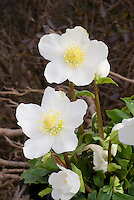 Helleborus niger 'HGC Jacob'' Christmas rose hellebore white flowers in winter