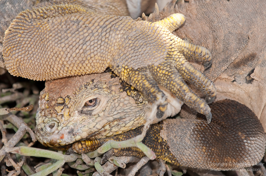 South Plazas Island, Galapagos, Ecuador; Galapagos Land Iguanas (Conolophus subcristatus) laying next to and on top of one another for warmth in the shade of a Prickly Pear Cactus (Opuntia Cactaceae) , Copyright © Matthew Meier, matthewmeierphoto.com All Rights Reserved