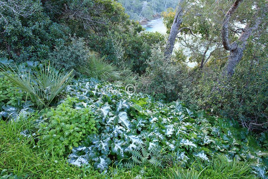 Le domaine du Rayol en f&eacute;vrier : exceptionnel, neige et froid visible ici sur les grandes feuilles d acanthes.<br /> <br /> (mention obligatoire du nom du jardin &amp; pas d'usage publicitaire sans autorisation pr&eacute;alable)