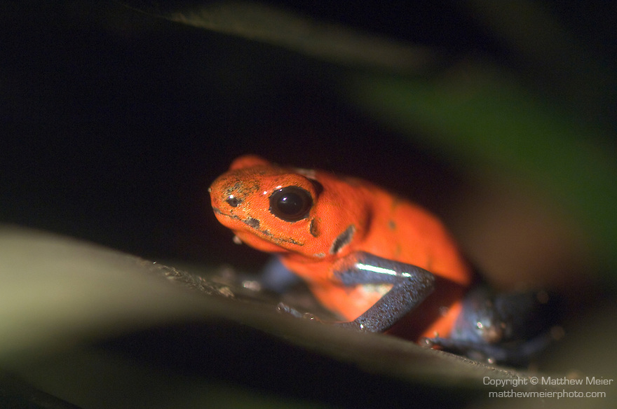 Monteverde, Costa Rica; Blue jeans dart frog (Dendrobates pumilio) , Copyright © Matthew Meier, matthewmeierphoto.com All Rights Reserved