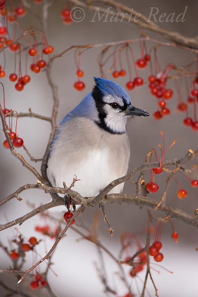 Blue Jay (Cyanocitta cristata) perched amid red berries in winter, New York, USA.