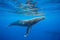 Humpback whales, Megaptera novaeangliae, underwater, Hawaii.