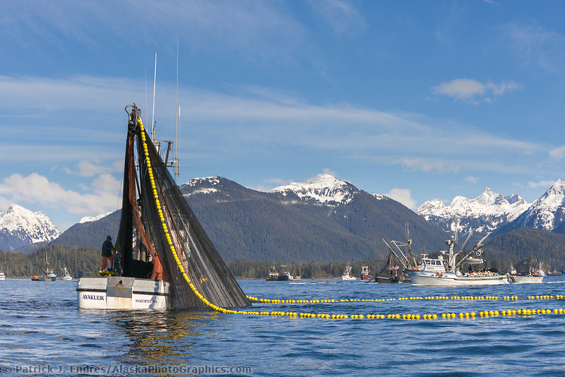 Fishing vessel cape purse seiner, Ayakulik, draws a net full of Pacific Herring during the 2006 Pacific Herring fishery opener in Sitka, Alaska
