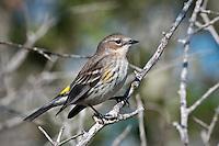 Yellow-rumped Warbler (Myrtle Warbler)
