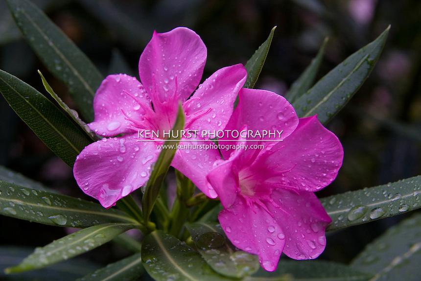 Beautiful but poisonous Oleander flower blossoms.