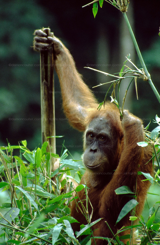 An Orangutang at Bukit Lawang Orangutang rehabilitaion centre, Sumatra, Indonesia, June 2000