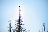 USA, Alaska, Ketchikan, a bald eagle sits perched in a tree along the Behm Canal near Clarence Straight, Knudsen Cove along the Tongass Narrows