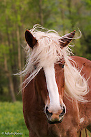 Portrait of Palomino horse,<br /> Cades Cove,<br /> Great Smoky Mountains N.P. TN.