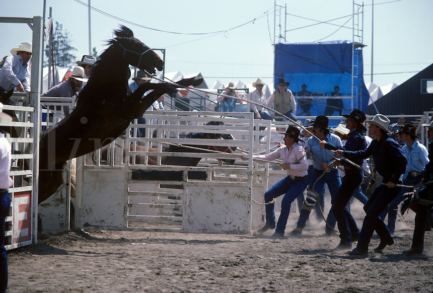 Cowboys and wild horse at rodeo, Cloverdael Rodeo, Vancouver, BC, Canada