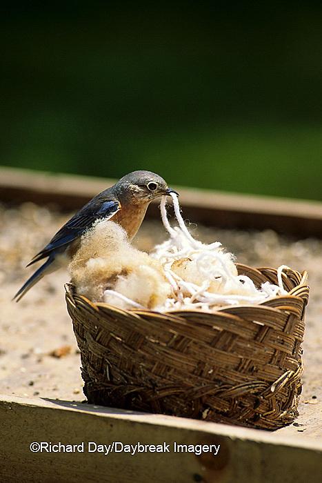 01377-033.01 Eastern Bluebird (Sialia sialis) female gathering nesting material   IL