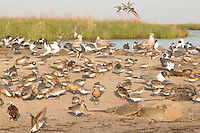 Sandpipers, Gulls, and Horseshoe Crabs; Delaware Bay, NJ