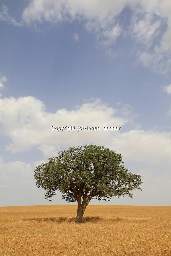 A lone Sycamore tree in a grain field of Kibbutz Beit Kama