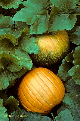 HS24-089f  Pumpkin - in garden - Connecticut Field variety