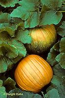 HS24-089f  Pumpkin - in garden - Connecticut Field variety