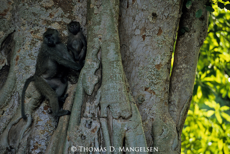 Two anubis baboons climb a tree in Africa.