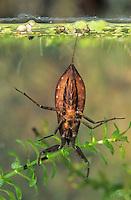 Wasserskorpion, Wasser-Skorpion, Nepa cinerea, Nepa rubra, water scorpion
