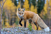 Red Fox (Vulpes vulpes) along the Liard River near the Yukon/British Columbia border.  Sept.