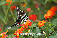 03006-002.20 Zebra Swallowtail (Eurytides marcellus) on Red Spread Lantana (Lantana camara) Marion Co.  IL