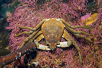 Spider crab (Hyas araneus), White Sea, Kareliya, Russia, Arctic, Europe