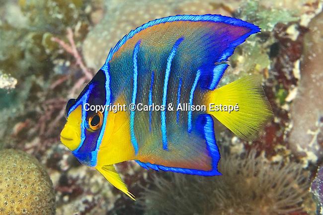 Holacanthus bermudensis, Blue angelfish, juvenile, Florida Keys
