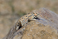 437800011 a wild southern desert horned lizard phrynosoma platyrhinos calidiarum suns on a large rock in mono county california