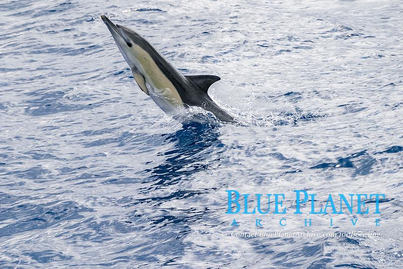 short-beaked common dolphins, Delphinus delphis, Azores Islands, Portugal, North Atlantic Ocean