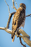 A Hawk in a tree at Bosque Del Apache National Wildlife Refuge in New Mexico.