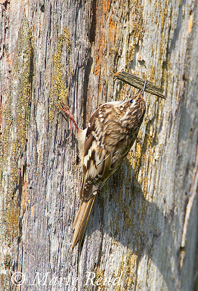 Brown Creeper (Certhia americana) nest building, bringing bark fragments as nest material, New York, USA