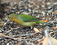 Adult female painted bunting