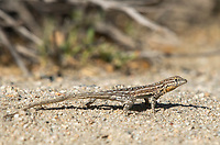 Female Side-blotched Lizard, Uta stansburiana, in Coachella Valley Preserve, near Palm Springs, California