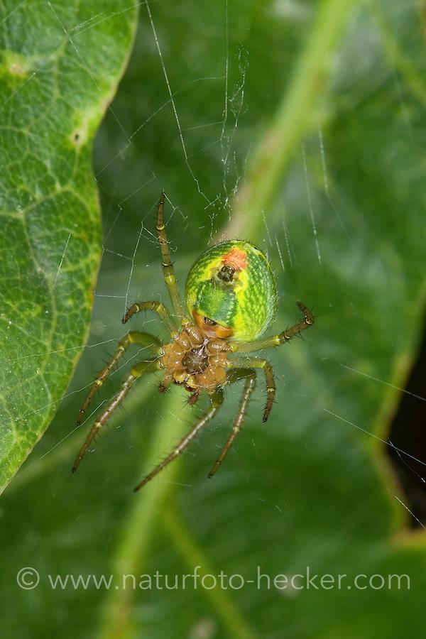 Kürbisspinne, Kürbis-Spinne, Araniella cucurbitina, Araneus cucurbitinus, gourd spider, pumpkin spider