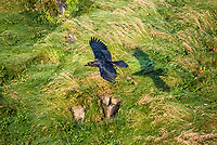 common raven, Corvus corax, in flight, over Cape St. Mary's Ecological Reserve, Cape Shore, Avalon Peninsula, Newfoundland and Labrador, Canada