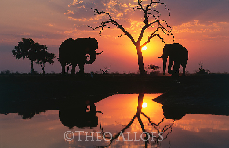 Chobe National Park, Botswana --- Savuti Elephants at Sunset --- Image by © Theo Allofs/CORBIS