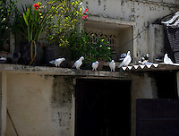 Folk sportsmen or Kabutarbaaz nurture and train pigeons to obey their commands to fly and return to home. Contests and competitions are held at the town and regional level where winners are declared Ustads and Khalifas. This folk sport is popular in North West India.