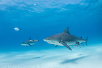 Tiger Beach, Grand Bahama Island, Bahamas; several bull sharks swimming over the shallow sandy bottom