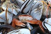 Columbus Crab - Planes minutus - amongst Goose Barnacles