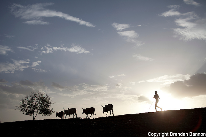 Children look on as cows head home for  the evening in Nassir, South Sudan.