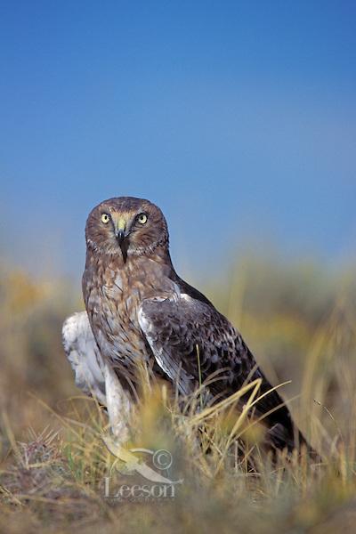 Northern Harrier (Circus cyaneus)  Westernn U.S.