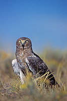 Northern Harrier (Circus cyaneus)  Westernn U.S.