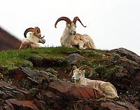 Dall Sheep AK