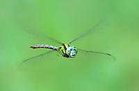 339550007c a wild male malachite darner remartinia luteipennis flies over a small stream near empire creek las cienegas natural area santa cruz county arizona united states
