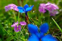 Spring Gentian (Gentiana Verna) - Bernese Alps Switzerland.