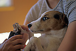 Jack Russell Terrier with young girl holding dog while dog is getting his nails clipped